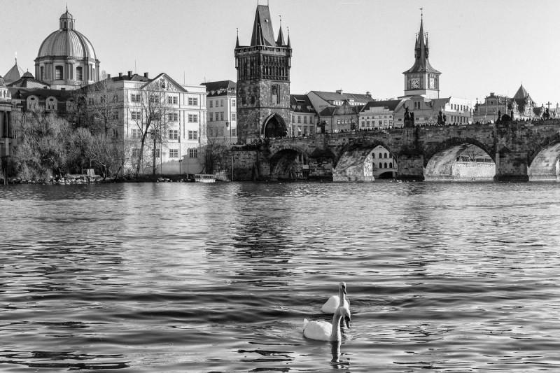 Лебеди в Праге 3