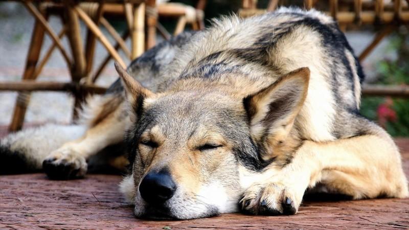 Чешский волчак 2